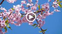 Mộng Chiều Xuân – Hồ Hoàng Yến