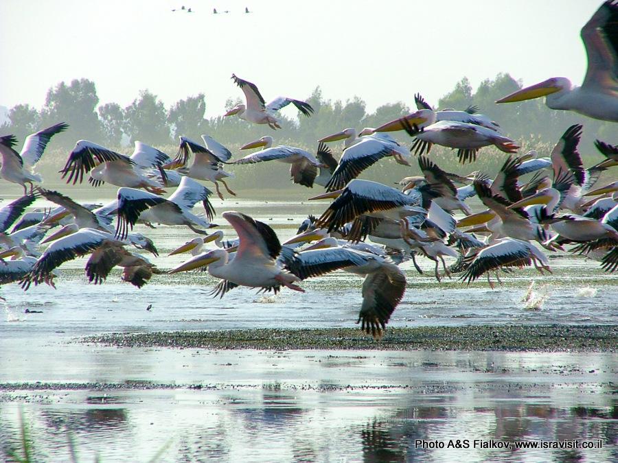 Перелетные птицы Израиля. Пеликаны в Национальном Парке Агамон а-Хула.