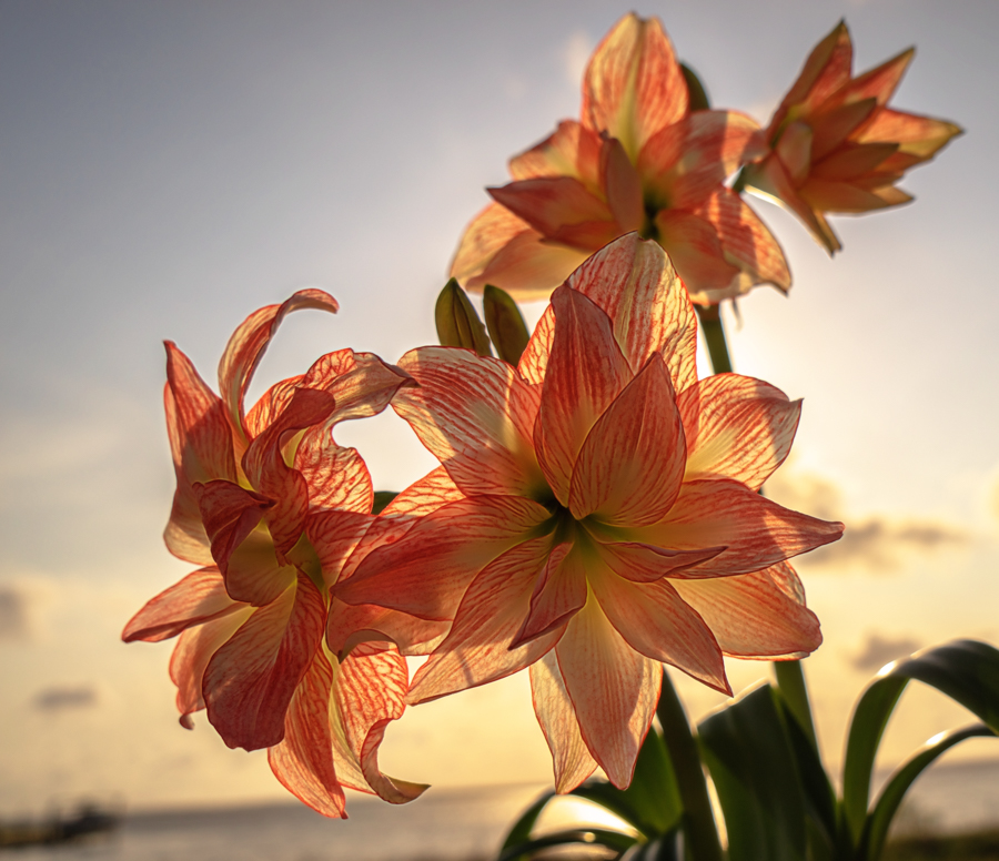 amaryllis by Mike Moss - Flowers Flowers in the Wild ( flowers )