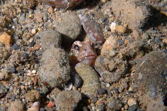 Photo: jawfish - Opistognathus sp. - Mainit