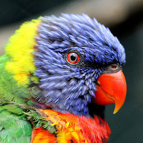 Lorikeet by Ralph Harvey - Animals Birds ( bird, pet, wildlife, ralph harvey, bristol zoo, lorikeet )
