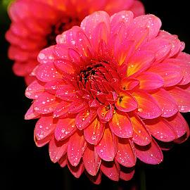 Rose et jaune by Gérard CHATENET - Flowers Single Flower