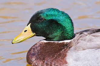 Photo: Duck in Ashley Pond pond (the pond was named after Mr. Ashley Pond)