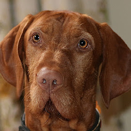 Frank by Chrissie Barrow - Animals - Dogs Portraits ( smooth, young, portrait, eyes, red, pet, whiskers, ears, fur, vizsla, dog, jowls, nose, tan )