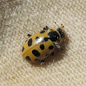 13 spotted Lady Bug