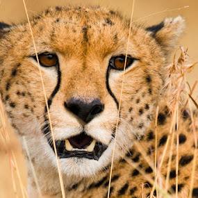 Maasai Cheetah by Justin Bowen - Animals Lions, Tigers & Big Cats ( cheetah, maasai mara, cat )