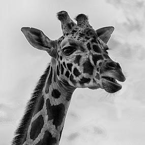 Giraffe by Cristobal Garciaferro Rubio - Black & White Animals ( b/w, hello, giraffe, savage, big animal, animal )