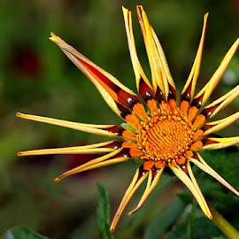 *** by Shibram Nag - Flowers Flower Gardens ( close up, nature, garden, flower )