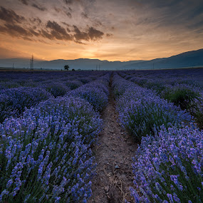 Sunrise over fields of lavender in the bulgaria by Grigor  Ivanov - Landscapes Sunsets & Sunrises ( plant, countryside, aroma, colorful, vivid, beauty, vibrant, landscape, panorama, sun, sky, nature, tree, evening, levender, flower, bulgaria, clouds, purple, aromatherapy, blooming, beautiful, agriculture, cloudscape, lavender, rural, rows, provence, field, color, herb, blue, sunset, violet, outdoors, background, sundown, meadow, perfume, summer, lines, harvest, herbal, natural, garden, stunning, panoramic, scented )