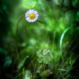 Lucky daisy by Norbert Atď - Uncategorized All Uncategorized ( green, luck, four leaf, daisy, flower,  )