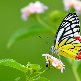 Common Jezebel  by Vijay Singh Chandel - Animals Other ( beautiful flower, butterfly, butterflies, wildlife, nature up close,  )