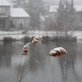 Snow laden lake reeds by Susannah Lord - Nature Up Close Leaves & Grasses ( laden, reflection, snow, white, lake, blizzard, gray, pond, reeds )
