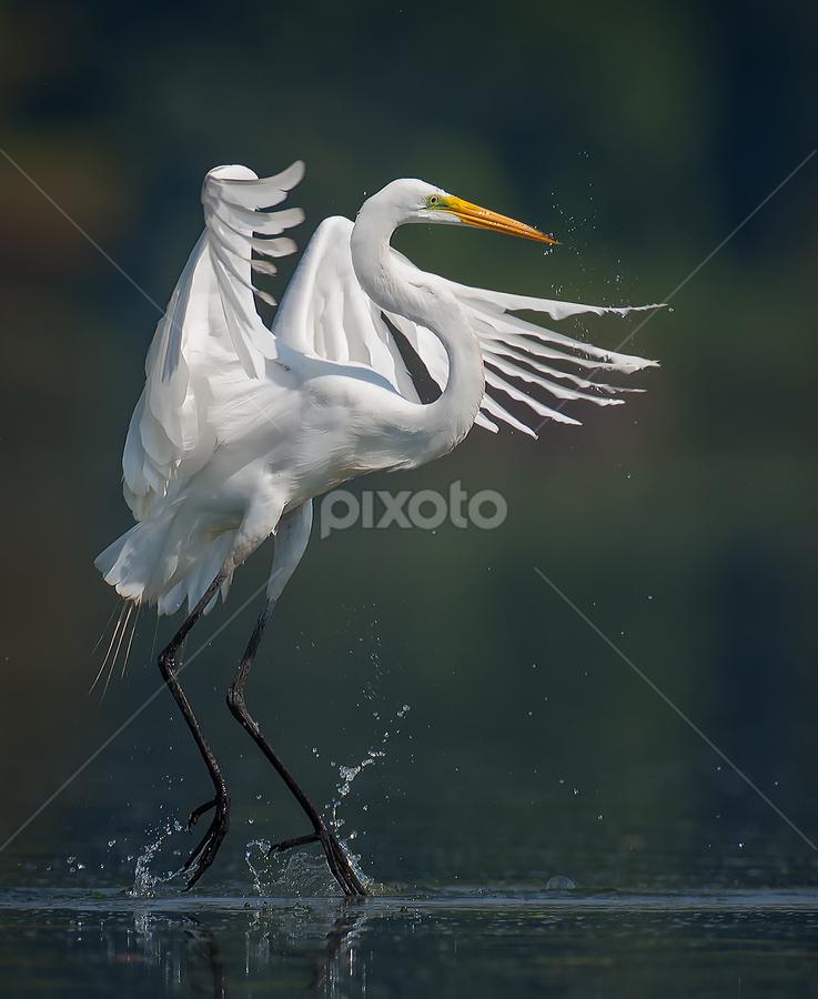 Great Egret Dance by Don Holland - Animals Birds
