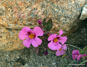 Photo: Some kind of monkey-flower; Anza Borrego Desert State Park