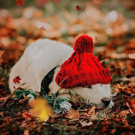 by Krisztina Ajtai - Animals - Dogs Portraits ( puppy, autumn, dog )