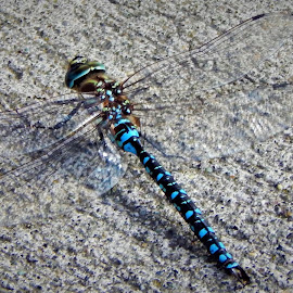 Big Blue by Lavonne Ripley - Animals Insects & Spiders