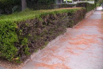 Photo: Canary Island Pine litter on a sidewalk next to hedge that is unable to recover from a recent power tool trim, Santa Barbara, California, August 25, 2012. The pytotoxic effects of traffic dust has brought down the pine needles, and has retarded regrowth of the trimmed hedge.