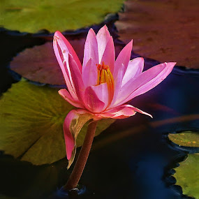 Water Lilly by Ron Olivier - Flowers Flower Buds ( water lilly,  )