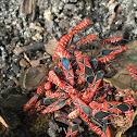 Red-shouldered bug(s)
