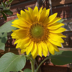 Giant Sun Flower by Gregg Landry - Nature Up Close Flowers - 2011-2013 ( sun flower,  )