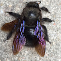 Violet carpenter bee (male)