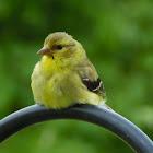 goldfinch (female)