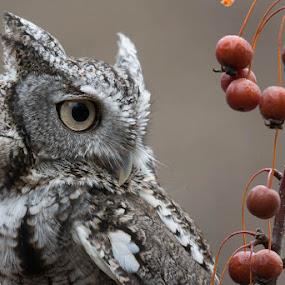Screech Owl  by Susan Hughes - Animals Birds ( screech owl )