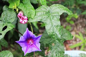 Photo: 拍攝地點: 春陽-可愛植物區 拍攝植物: 日本朝顏 紫獅子 拍攝日期:2013_08_29_FY