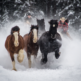 Winter Roundup  by John Klingel - Animals Horses ( cowboy, horses, montana, snow, cowgirl )