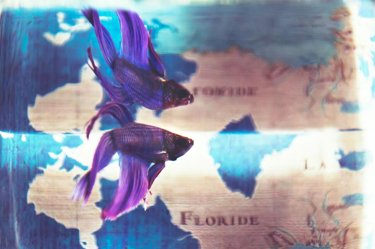 a purple betta in an aquarium with a map as background