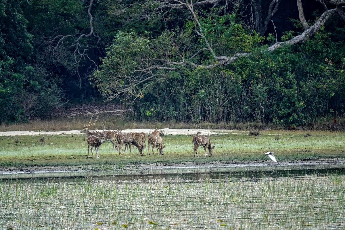 Sri. Lanka Wilpattu National Park . Spotted deer
