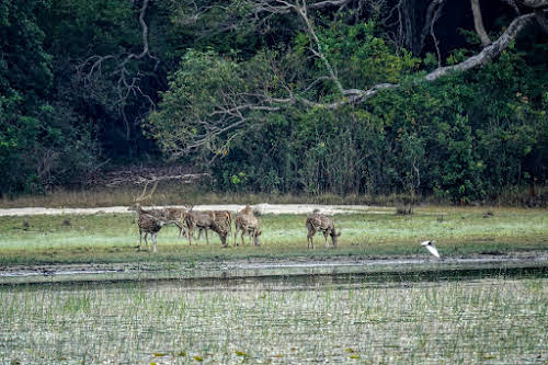 Sri. Lanka Wilpattu National Park . Spotted deer