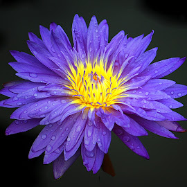 Water Lilly II by Anthony Goldman - Flowers Single Flower ( nature, botanic gardens, purple, cgicago, flower, lilly,  )