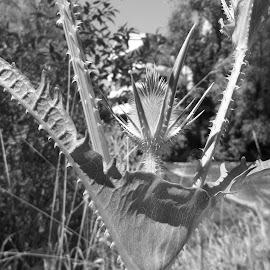 Бодил by Georgi Kolev - Black & White Flowers & Plants ( небе., треви., бодил., храсти., дървета. )