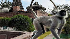 Temple Monkeys on the Run thumbnail