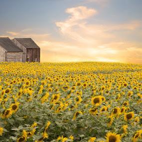 Field of Sunflowers by April Brown - Landscapes Prairies, Meadows & Fields ( farm, field, barn, sunflowers, summer )