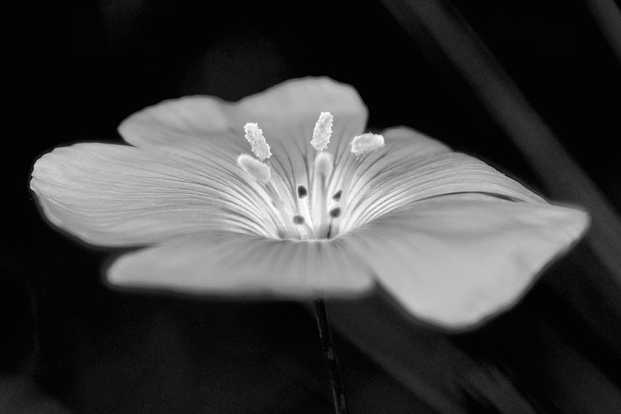 by Steven Aicinena - Black & White Flowers & Plants