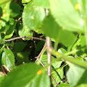 Cedar-Apple Rust (The disiese this fungus causes)
