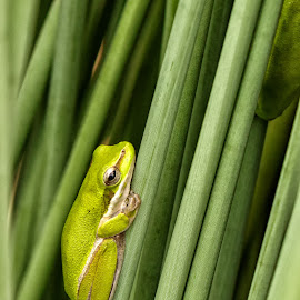 Little green frog by Cora Lea - Animals Amphibians