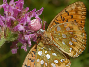 Photo: Crab Spider catches a Butterfly