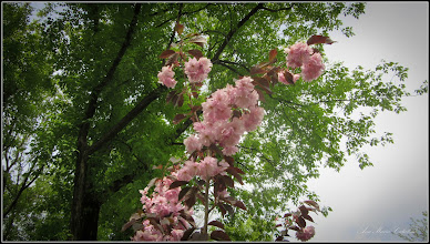 Photo: Cires japonez (Prunus Surrulata) - din Parcul din Mr. I - 2017.04.28