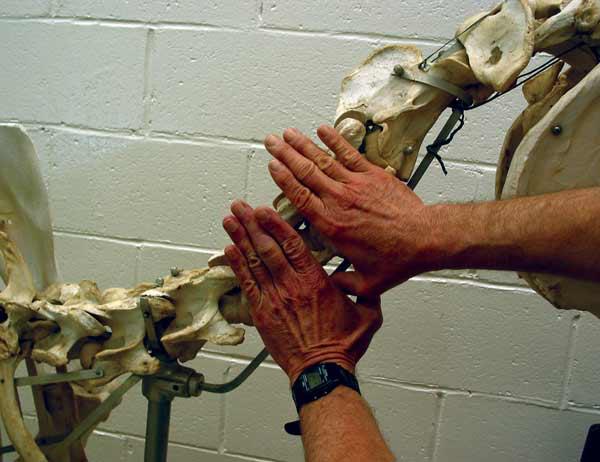 Para el caballo de tamaño promedio, el ancho de la vértebra cervical corresponde al ancho de la palma de la mano