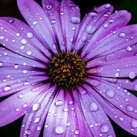Purple Osteospermum by Mel Stratton - Flowers Single Flower ( purple, daisy, water, osteospermum, flower,  )