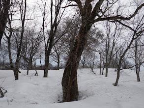 ブナに別の木が寄生?