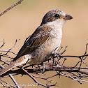 Woodchat Shrike; Alcaudón Real