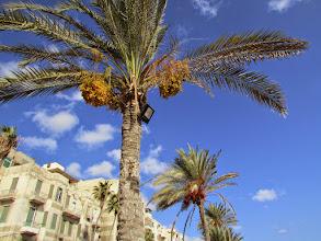Photo: palmeras datileras. los egipcios comen también los dátiles cuando están rojos, pero no son tan dulces ni tan tiernos.