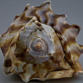 Conch Shell #2 by Cal Brown - Nature Up Close Other Natural Objects ( other objects, shell, conch, still life, nature up close, artistic object, natural,  )