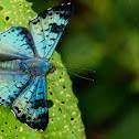 Lasaia Butterfly