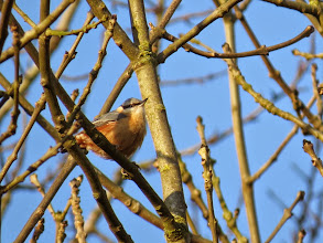 Photo: Priorslee Lake An upgrade to the Nuthatch picture: yet to get the gape as well!. (Ed Wilson)