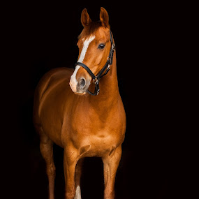 Irish Draught  x Arab Chestnut Portrait  by Vicki Roebuck - Animals Horses ( black background, equine photography, arab, irish draught, horse, gelding )